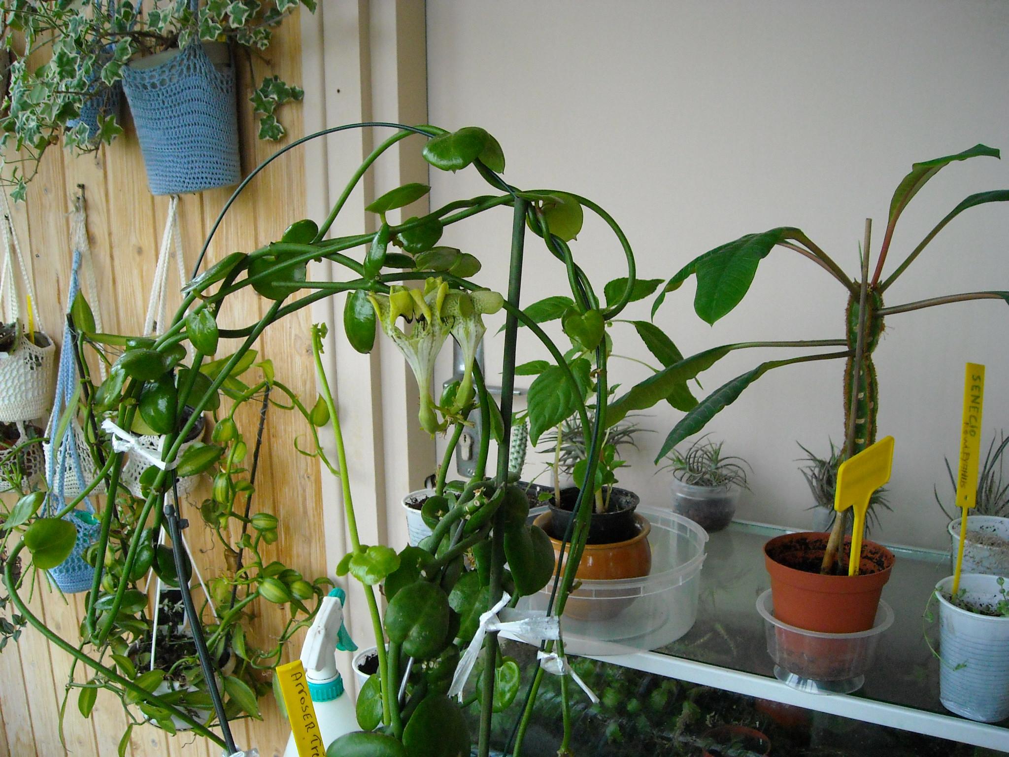 ceropegia sandersonii d'elodi 731652ceropegia002