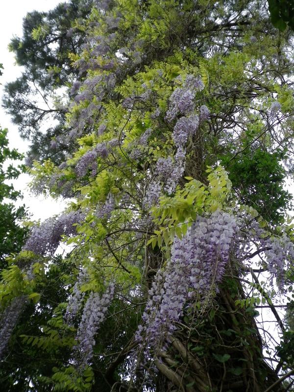 joli mois de mai, le jardin fait à son gré 732376IMGP4498