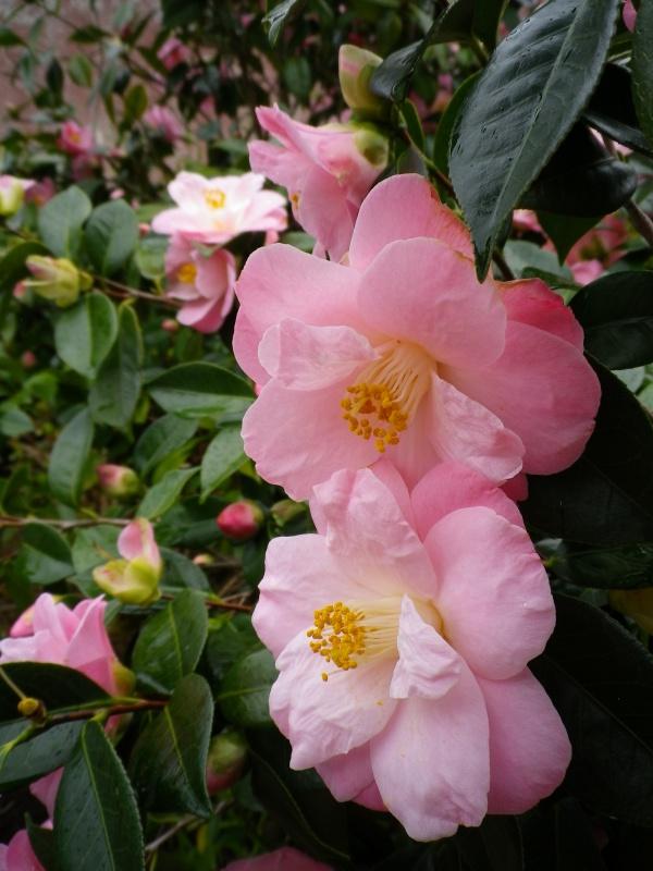 Quelques floraisons - Page 3 733728CamelliaIMGP4553