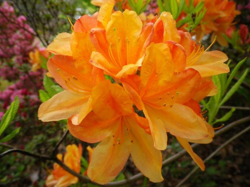 Quelques floraisons - Page 2 735570AzalemollisIMGP2932