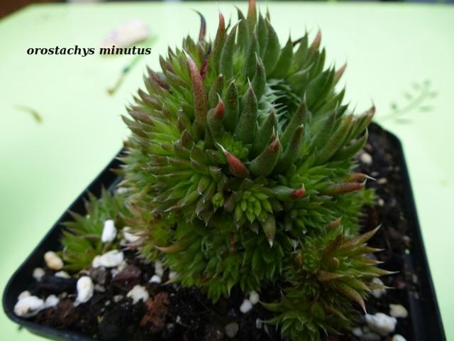 Orostachys spinosa 'Minuta' 737508orostachysminutus2