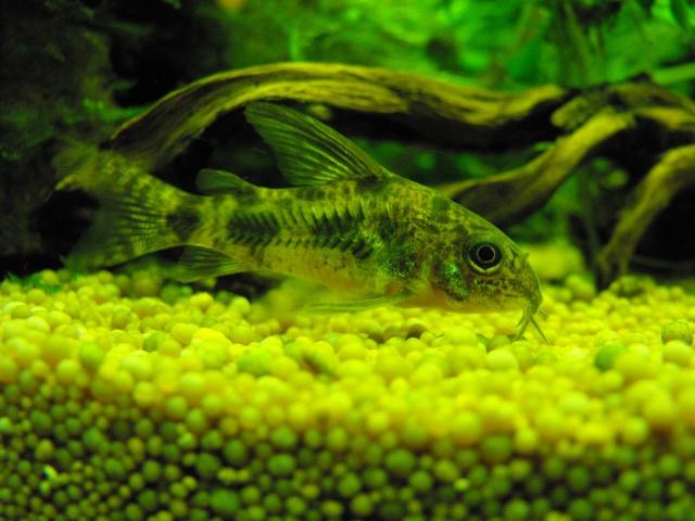 mes aquariums 739643CORYDORAS