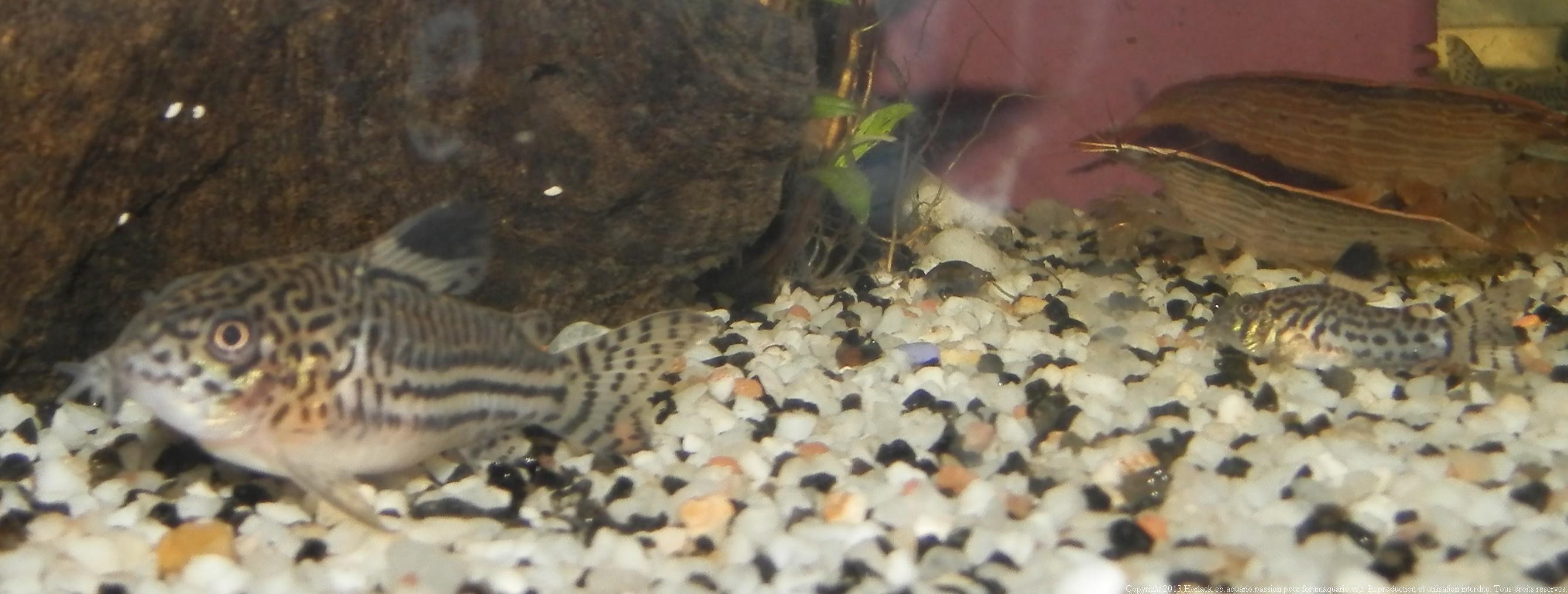 Corydoras et ventre arrondie  740199CorydorasTrilineatus0018
