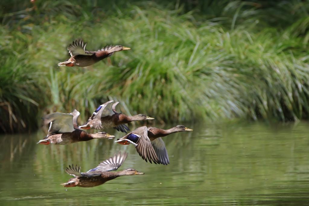Canards sauvages 744200retouche04471Copier