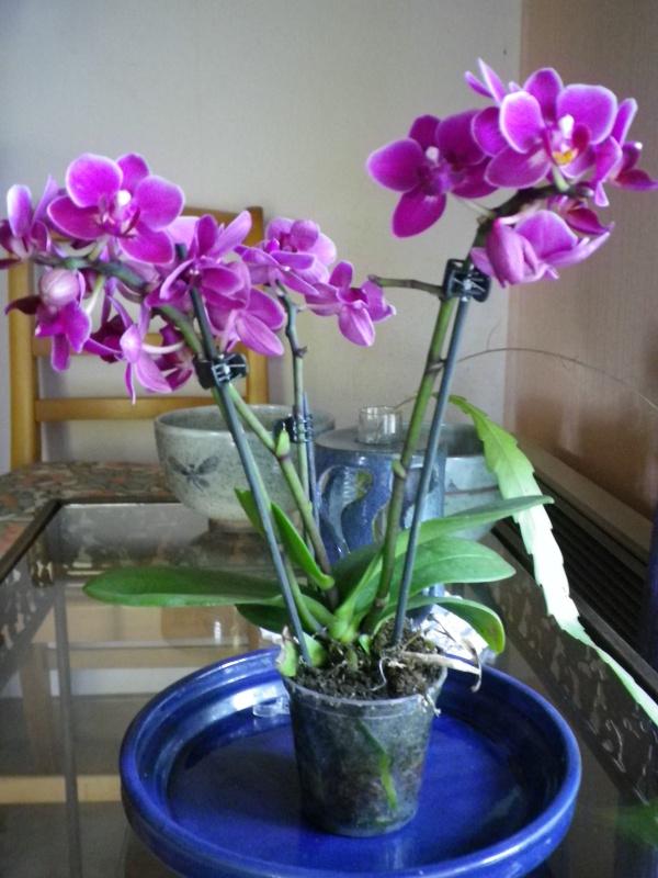 Mes quelques orchidées... 745819IMGP3871