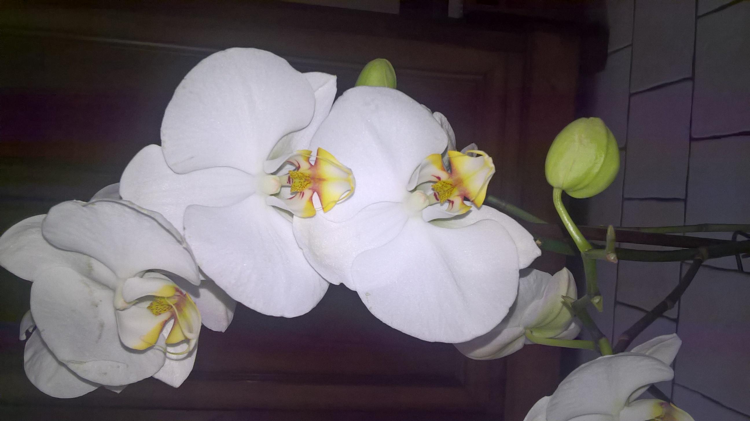 LES VOTES SONT FERMÉS - La fleur du mois (catégorie acheté avec hampe, boutons ou fleurs) - mai 2016 748602WP20160516125840Pro