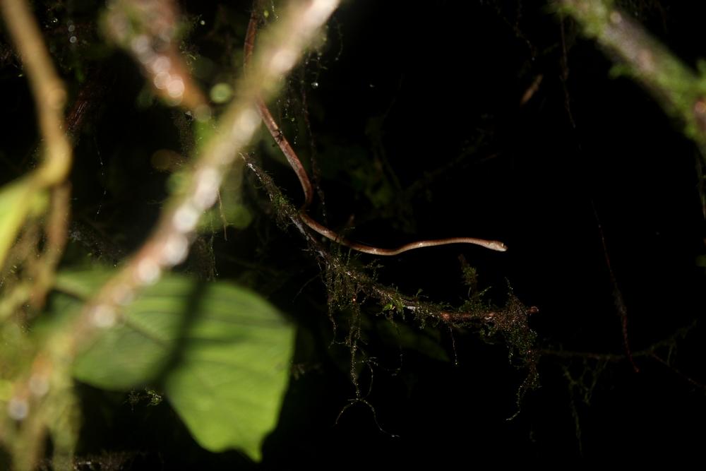15 jours dans la jungle du Costa Rica - Page 2 748936cenchoa1r