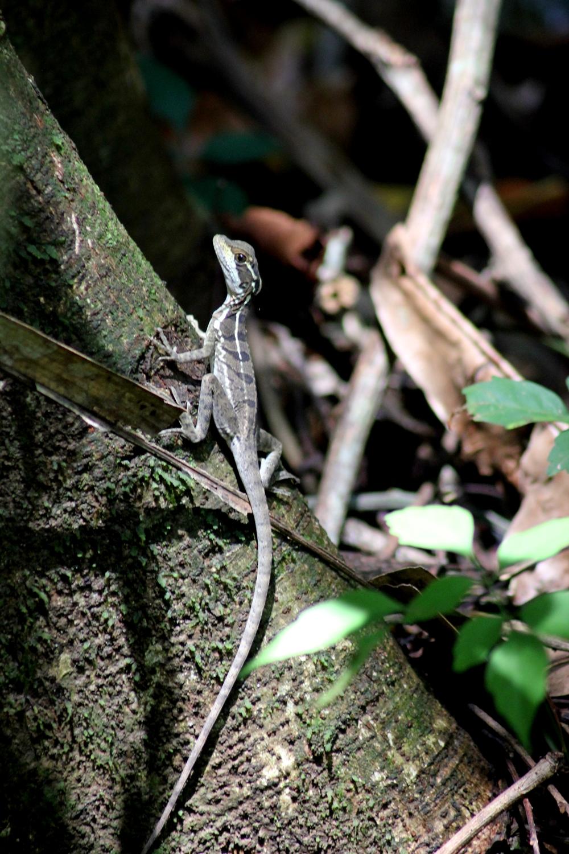 15 jours dans la jungle du Costa Rica 761838basiliscusr