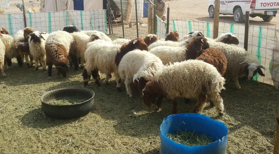 25 خروف نعيم للبيع  762467142