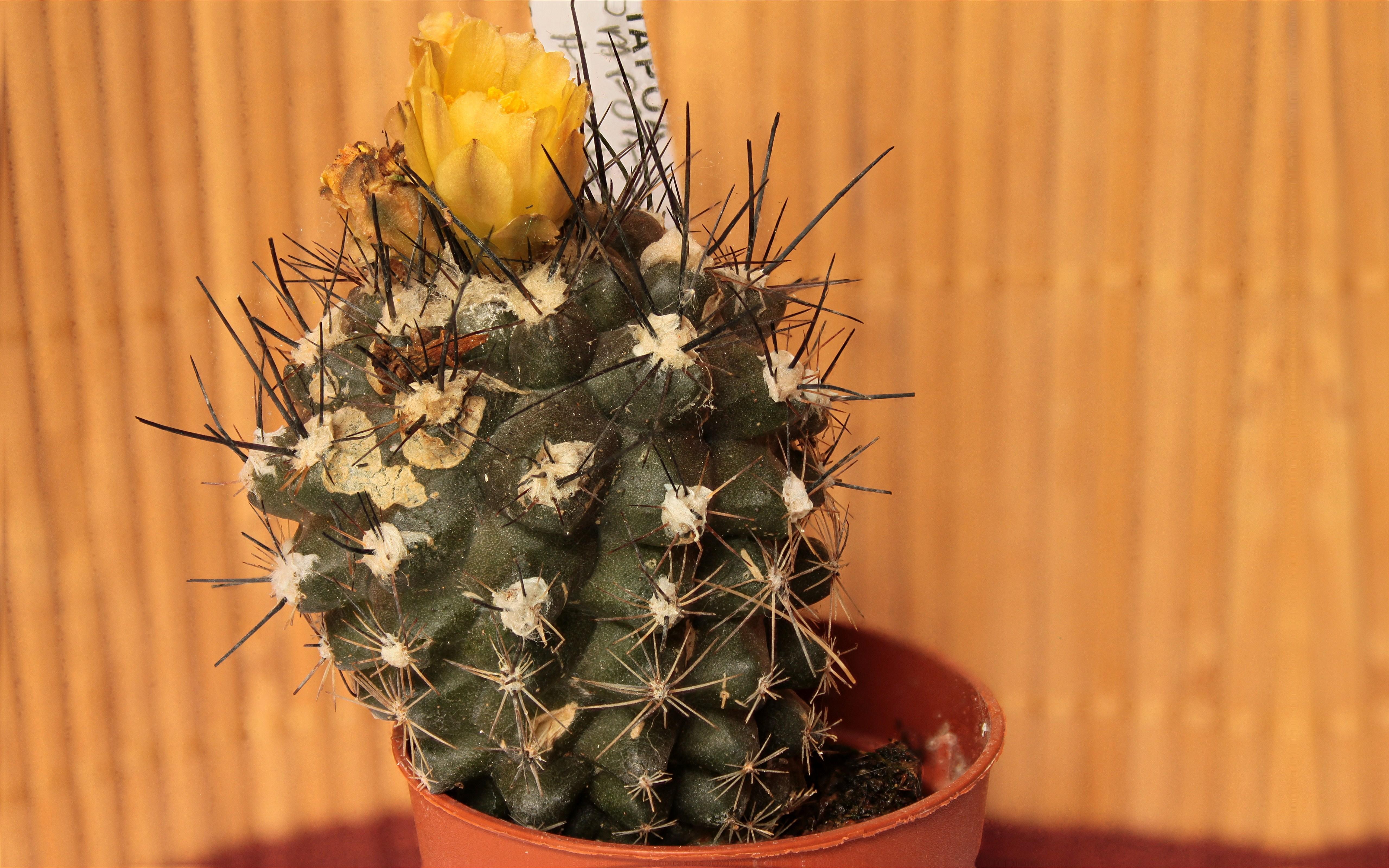 Présentation d'un Copiapoa humilis en fleur. (Cactaceae) 762717Copiapoahumilis