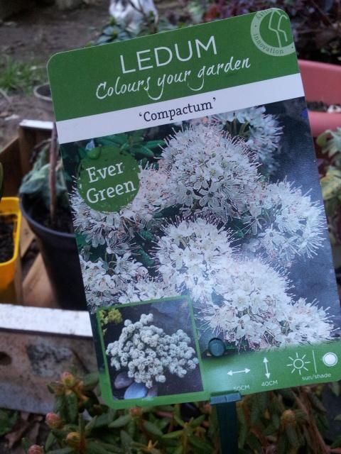 ledum groenlandicum compactum 76397320150120171744