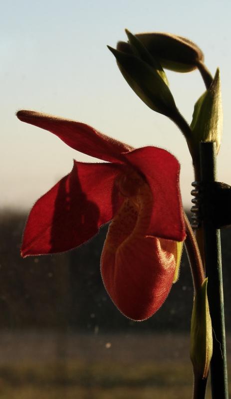 Phragmipedium Memoria Dick Clements (sargentianum x besseae) 766166bouton2014030901