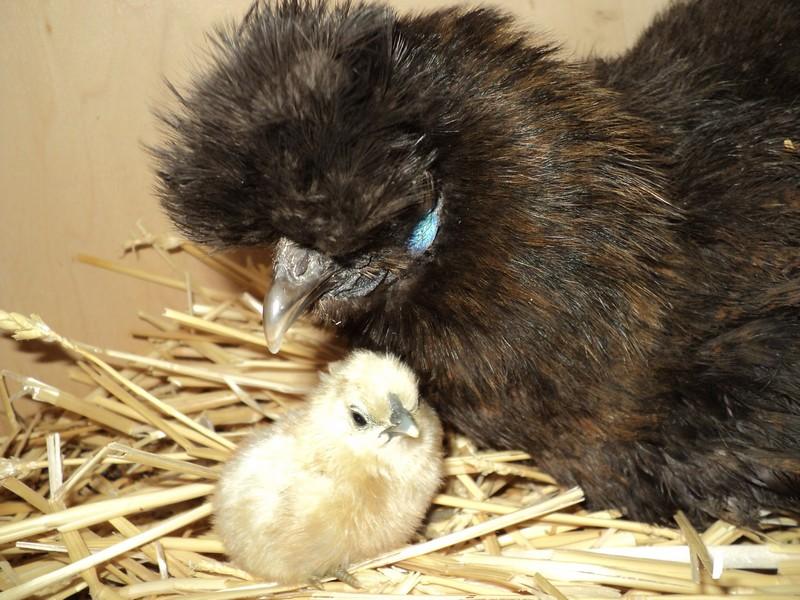 Mes poules soie 767709002