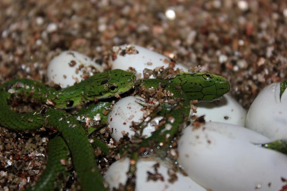 Reproduction Rhadinophis prasinum 770385IMG5090r