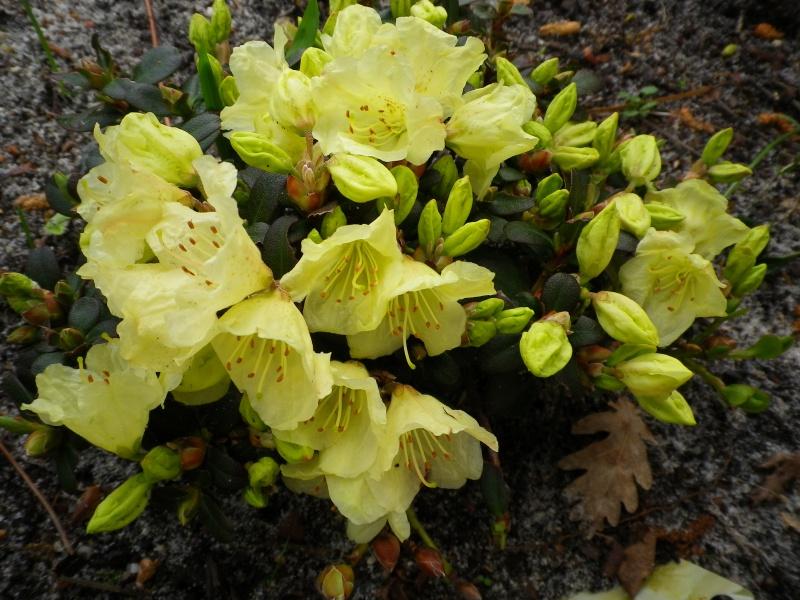 Quelques floraisons - Page 2 771557AzaleIMGP2938