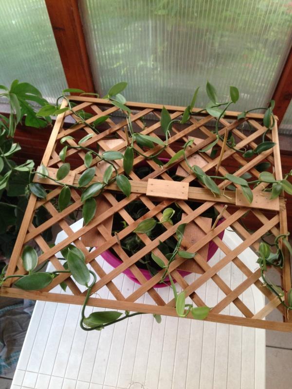 Culture et Entretien de la Vanilla Planifolia - Page 3 771666IMG5769