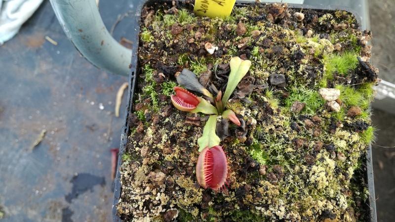 Dionée Conchiglie (nouveau cultivar) 776541IMG20171202144543