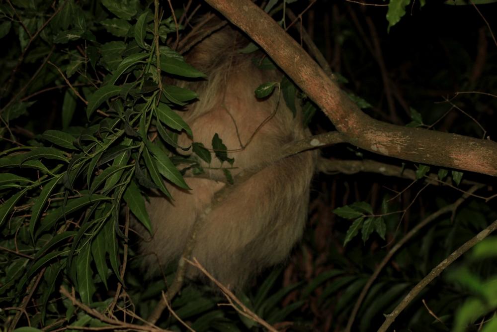 15 jours dans la jungle du Costa Rica - Page 2 778647paressosso3r