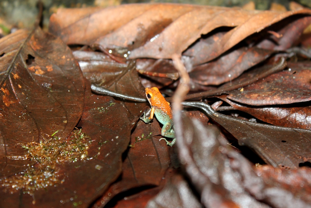 15 jours dans la jungle du Costa Rica - Page 2 779425grabulatusr