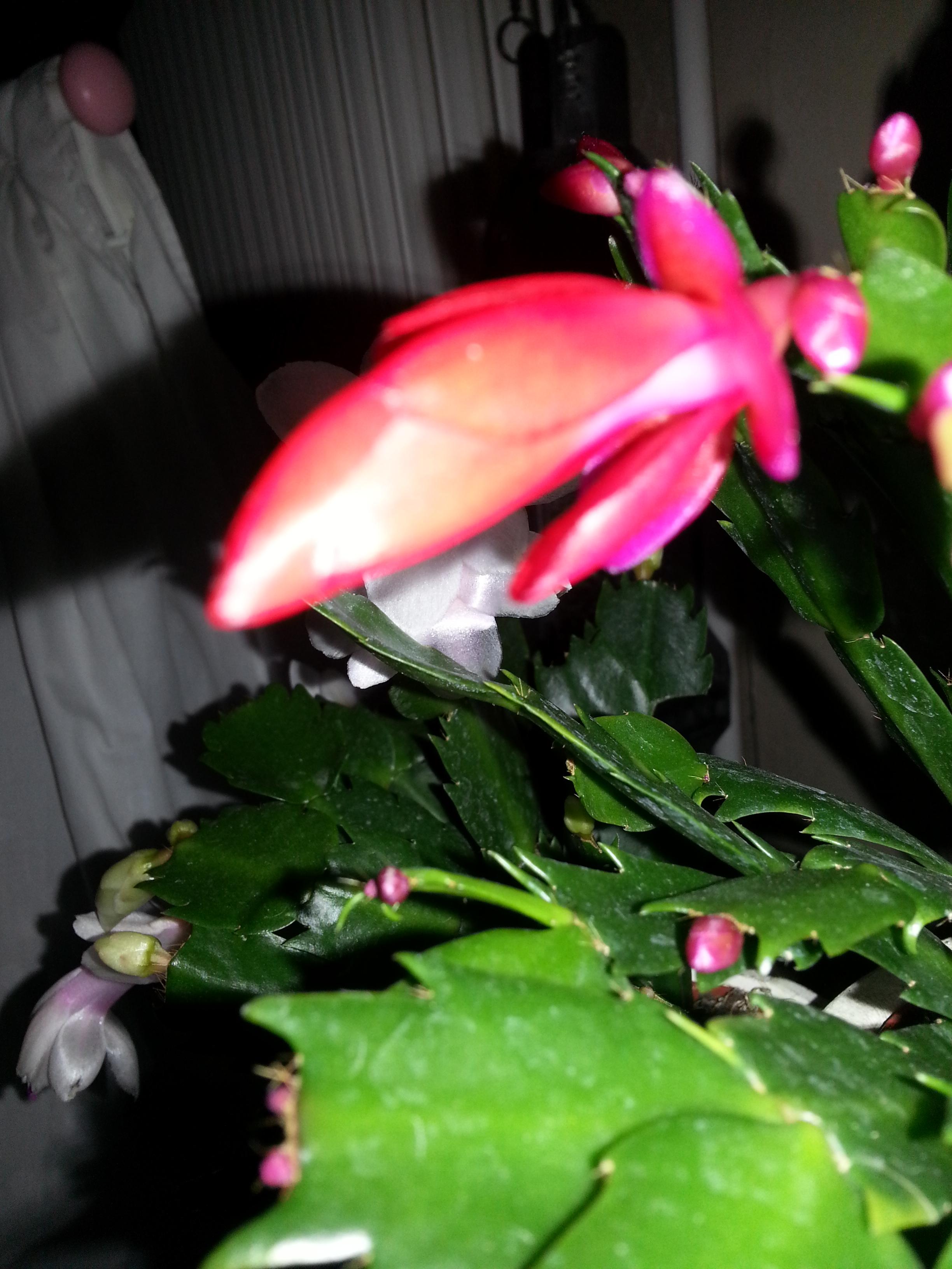 Schlumbergera blanc et rouge 78299220131210224212