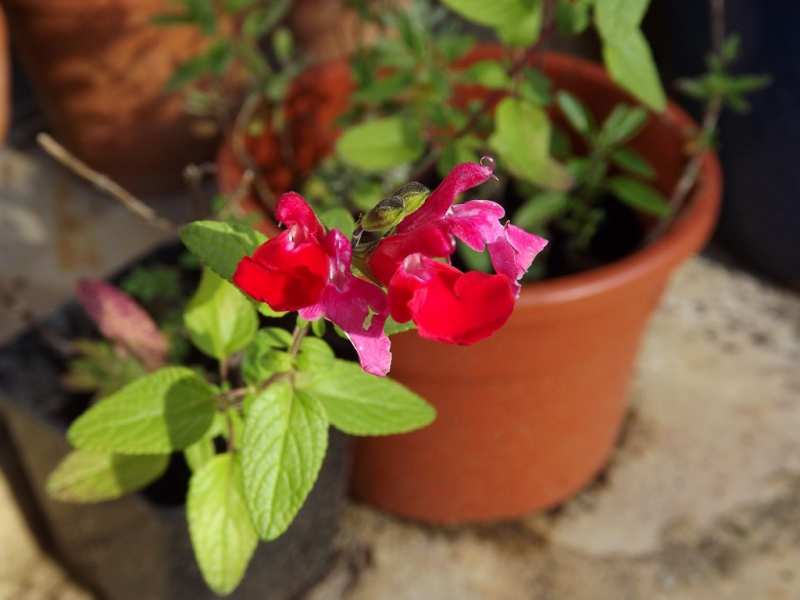 Salvia - les floraisons du moment - Page 12 783281DSCF6647bis
