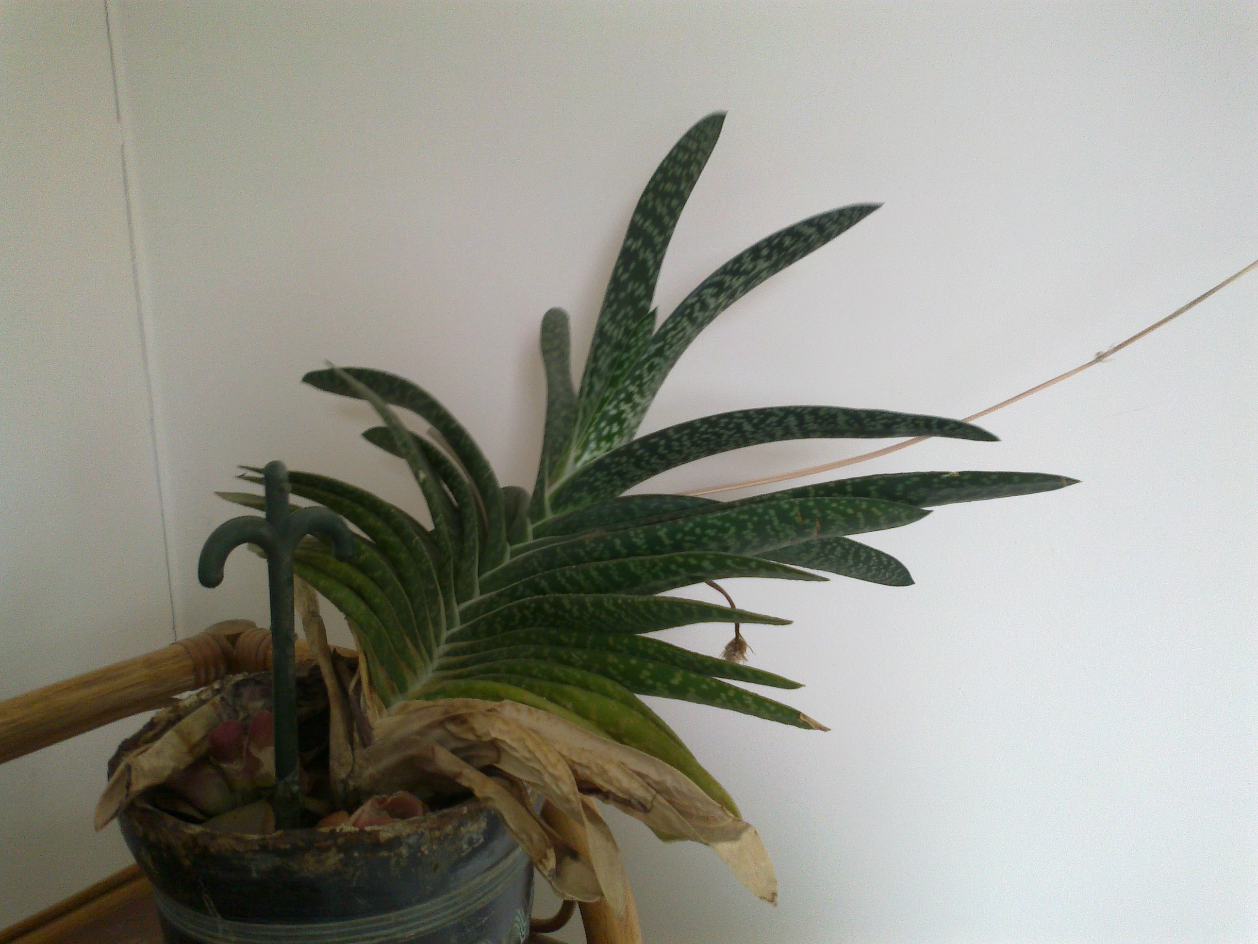 Inconnues identifiées [Gasteria bicolor var bicolor] & [Gasteria carinata var. verrucosa] 78454203032013291