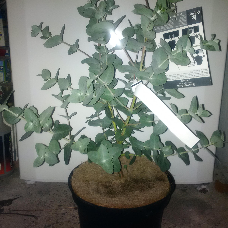 pourriture et feuilles d eucalyptus - Page 2 789165IMG20160205201407