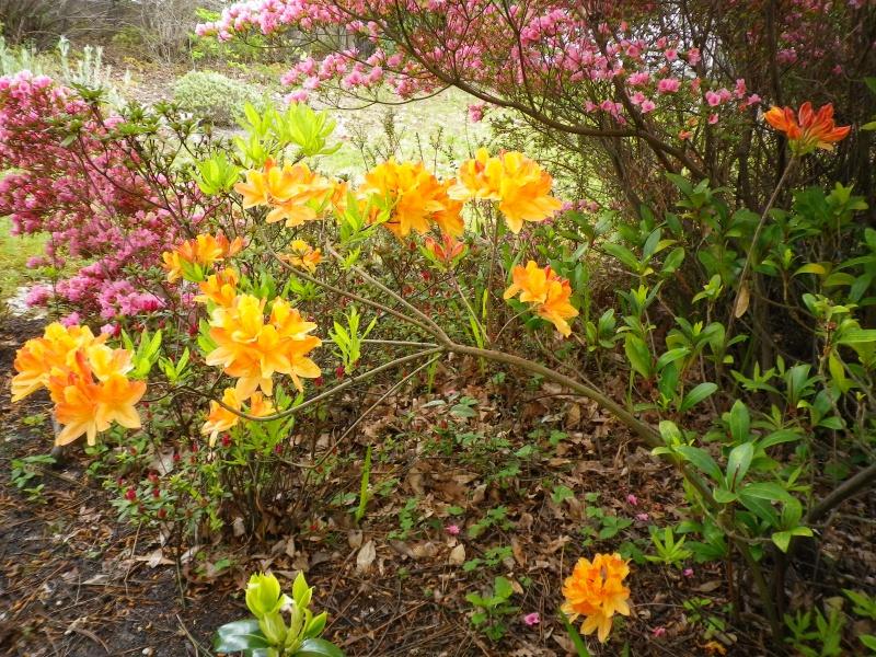 Quelques floraisons - Page 2 790067AzalesIMGP2931
