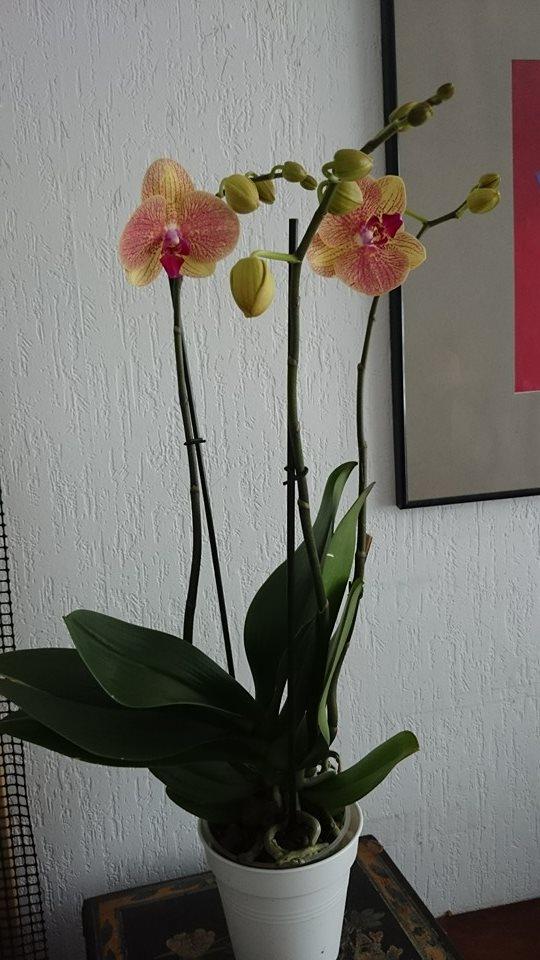 Phalaenopsis. : écart de température ou pas? 793623phal3hampes