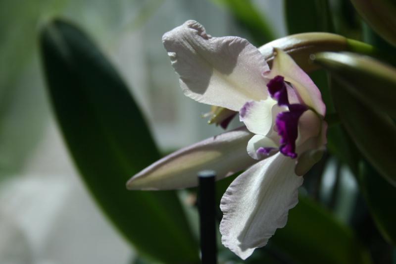 cattleya intermedia Laelia purpurata - Page 3 799682IMG8784