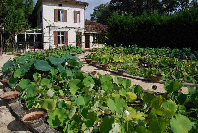 (47) Latour-Marliac, jardin de nénuphars - Le Temple-sur-Lot 799793DSC4944