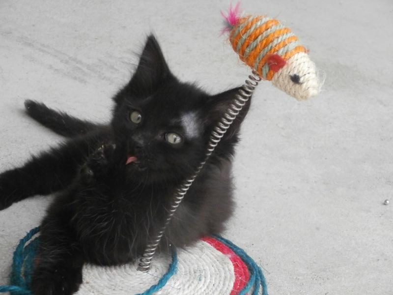 DOMINO (chaton mâle poils mi long) 811346P7024184