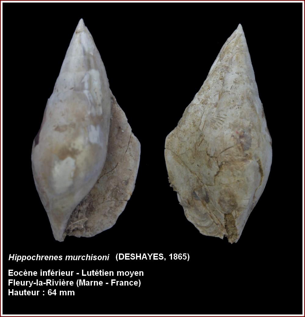 """Strombidae - † Strombidae fossiles de la collection """"hybodus"""" - Eocène du bassin parisien 812941plmurchisoni"""