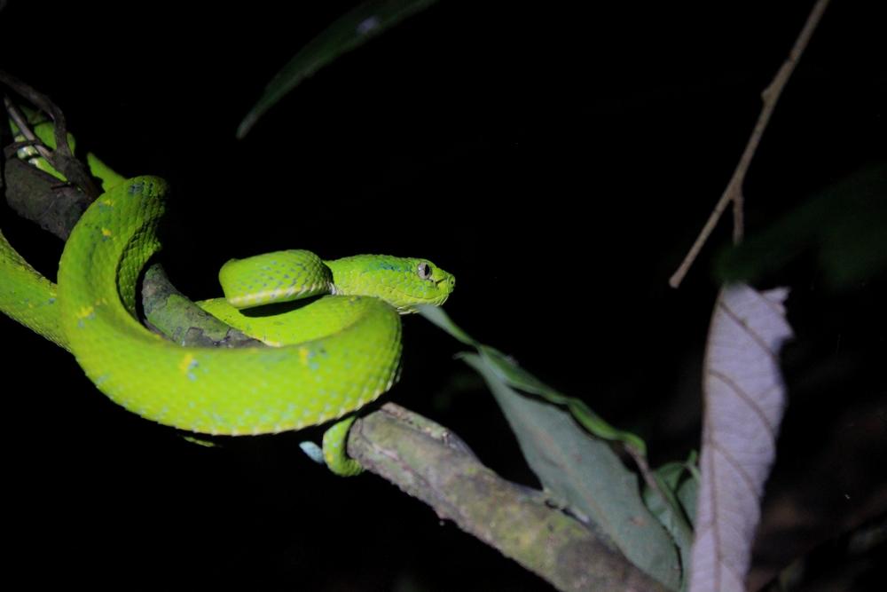 15 jours dans la jungle du Costa Rica - Page 2 813107lateralis8r