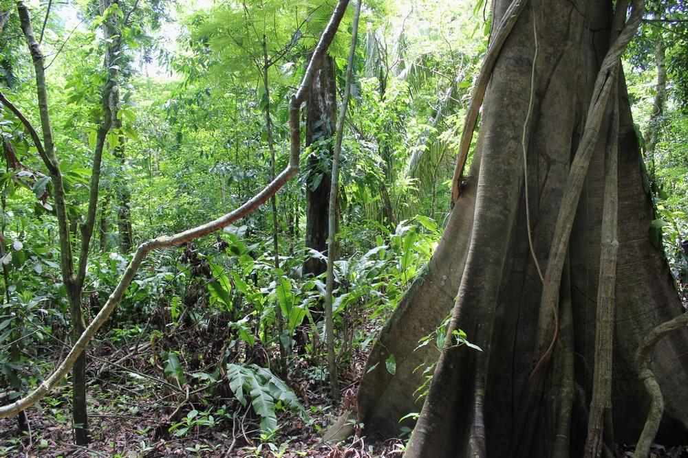15 jours dans la jungle du Costa Rica 816295carara1r
