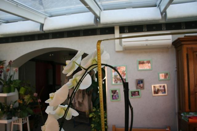 phalaenopsis blanc a fleurs enooooooooormes - Page 2 816854IMG9668