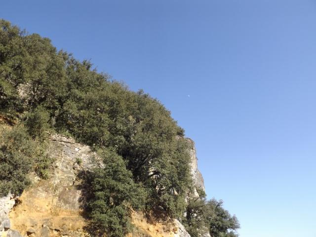 Quercus ilex - chêne vert 816991DSCF50881024x768