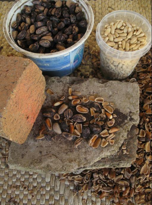 [Nourriture] Subsistance à coût 0, plantes et fruits sauvages - Page 4 817836pignons03