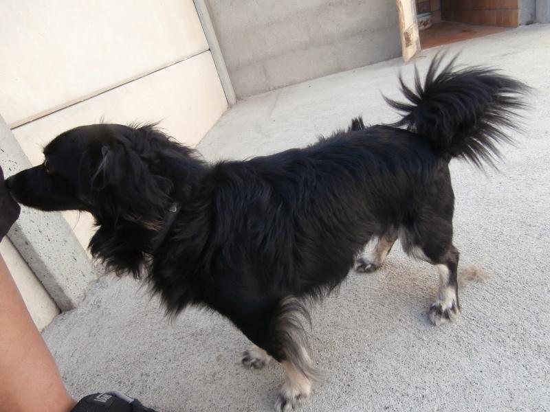 TAPAS (mâle croisé épagneul tibétain) 821684P8053338