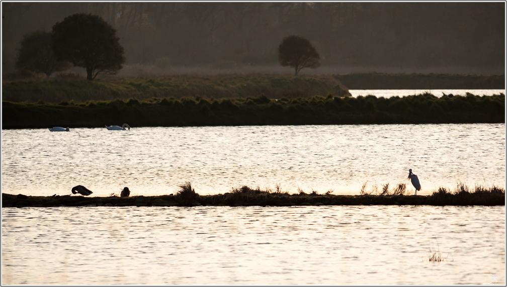 Morbihan, Le Duer, Aigrettes, Cygnes 824227LR6P1440135