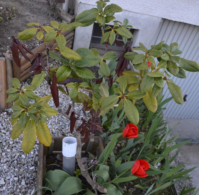 sauvetage d'un Rhododendron 827571arbusteIDF
