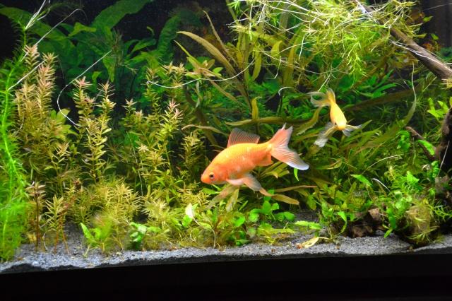 Je vous présente mon aquarium! =D 829868DSC1022