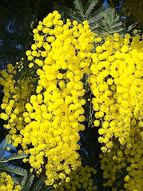 ça commence a fleurir...(Mimosa, Acacia dealbata) 830215mimosa4