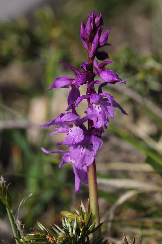 Orchis ichnusae 833075IMG2647forum