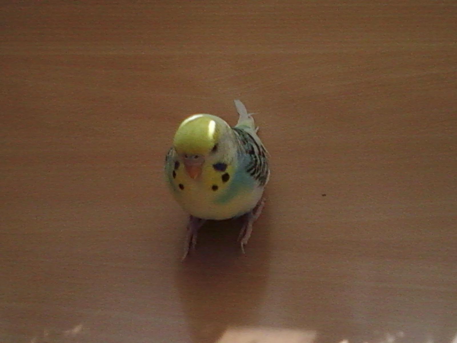 mon oiseaux a pas de queue 834622Photo0010
