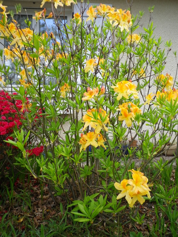 Quelques floraisons - Page 2 834702AzalemollisIMGP2927