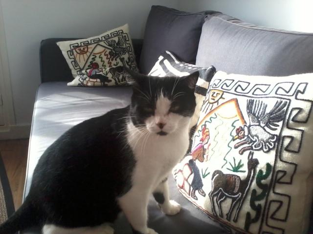 Noé chat noir et blanc mai 2012 FIV+ (ADPK35) 835770noe2