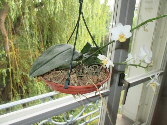 Phalaenopsis lobii 838791IMG1679