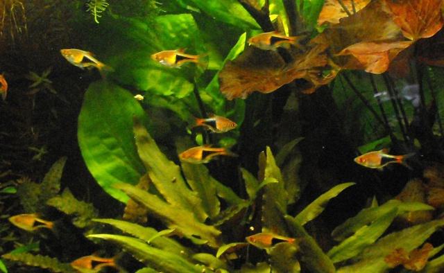 mes aquariums 841134RASBORA