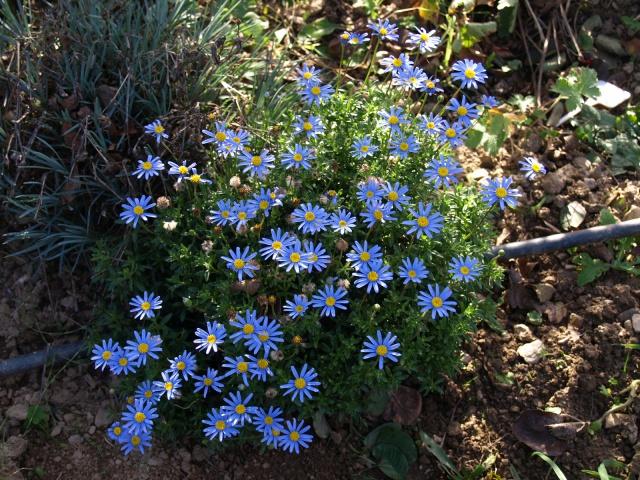 Felicia amelloïdes, Aster du Cap, Agathea caelestis 842160PB060914